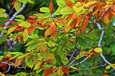 Photograph - Brown Leaves On This Tree Along Trail To North Beach Park In Ottawa County, Michigan by Ruth Hager