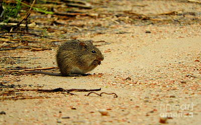 Mouse Photograph - Brown Mouse by Tracy Habenicht