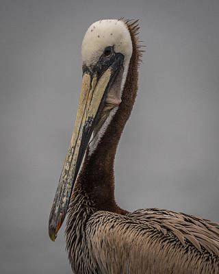 Photograph - Brown Pelican 11 by Ernie Echols