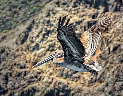 Photograph - Brown Pelican 2 by Endre Balogh