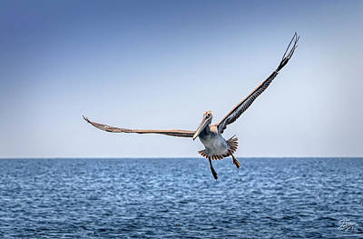 Photograph - Brown Pelican 3 by Endre Balogh