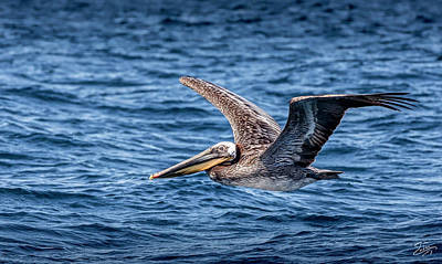 Photograph - Brown Pelican 5 by Endre Balogh