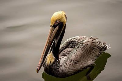 Photograph - Brown Pelican Series 5 Of 5 by Debra Martz