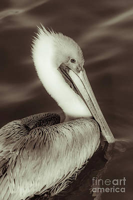 Digital Art - Brown Pelican Adult In Breeding Plumage, Close-up Of Head, Pelecanus Occidentalis, Usa by Stefano Senise