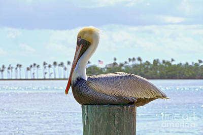 Photograph - Brown Pelican And Palm Trees by Catherine Sherman