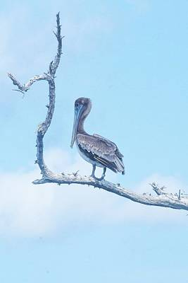 Birds Rights Managed Images - Brown Pelican at Cayo Costa Royalty-Free Image by Mary Ann Artz