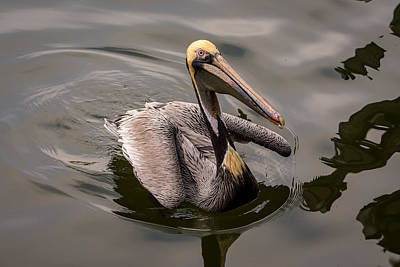 Photograph - Brown Pelican Begging For Fish - Series 2 Of 5 by Debra Martz