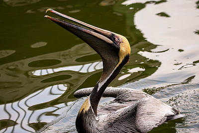 Photograph - Brown Pelican Begging For Fish - Series 3 Of 5 by Debra Martz
