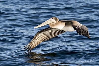 Photograph - Brown Pelican by Deana Glenz