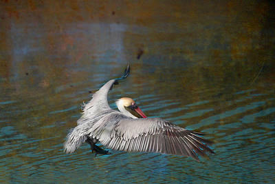 Photograph - Brown Pelican Flight Florida by Joseph G Holland