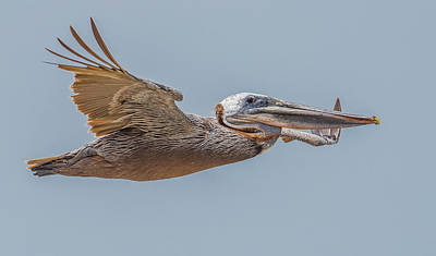 Tijuana Photograph - Brown Pelican Flight by Morris Finkelstein
