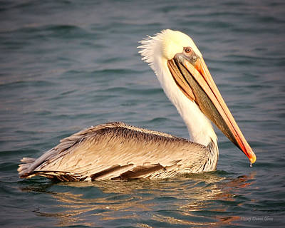 Brown Pelican Floating Art Print