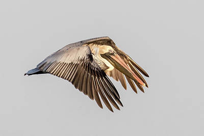 Photograph - Brown Pelican Flyer by Phil Stone