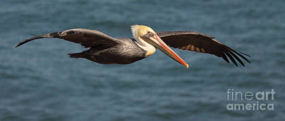 Brown Pelican Flying By Art Print by Max Allen