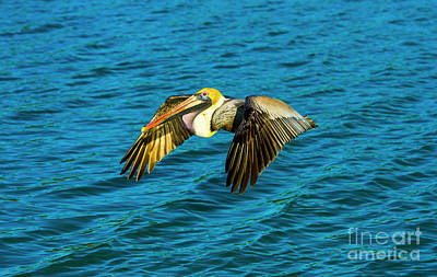 Photograph - Brown Pelican Flying by Stefano Senise
