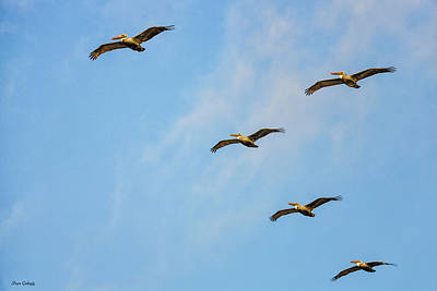 Photograph - Brown Pelican Formation by Fran Gallogly