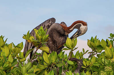 Photograph - Brown Pelican, Galapagos Islands by Venetia Featherstone-Witty