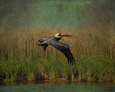 Photograph - Brown Pelican Gliding Above Marshes by Carla Parris