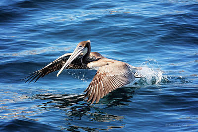 Photograph - Brown Pelican In Cabo by Deana Glenz