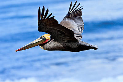 Photograph - Brown Pelican In Flight 2 by Ben Graham