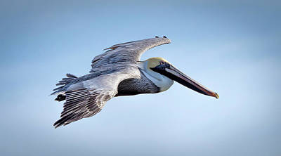 Photograph - Brown Pelican In Flight #2 by Van Sutherland