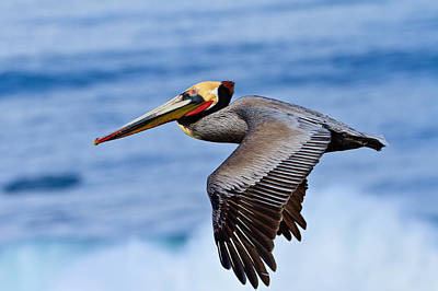 Photograph - Brown Pelican In Flight 3 by Ben Graham