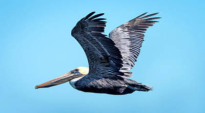 Photograph - Brown Pelican In Flight #3 by Van Sutherland