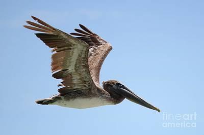 Photograph - Brown Pelican In Flight Closeup by Carol Groenen