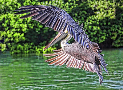 Photograph - Brown Pelican In Flight by HH Photography of Florida