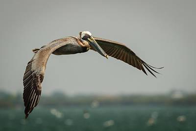 Photograph - Brown Pelican In Flight by Joni Eskridge