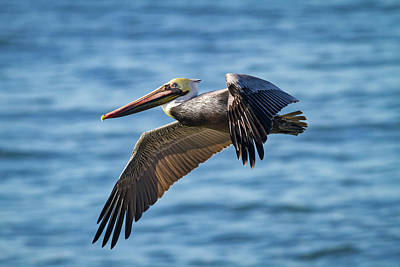 Photograph - Brown Pelican In Flight by Mark Miller