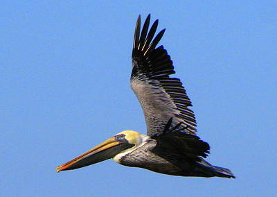 Photograph - Brown Pelican In Flight by T Guy Spencer