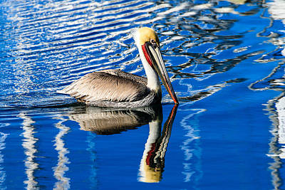 Photograph - Brown Pelican In Harbor by Ben Graham