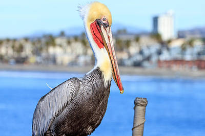 Photograph - Brown Pelican In Oceanside by Ben Graham