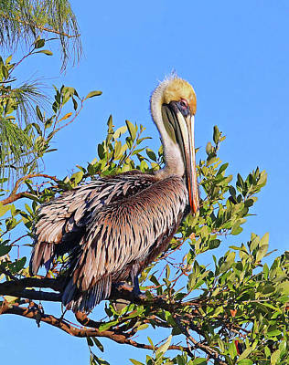 Photograph - Brown Pelican In The Treetops by HH Photography of Florida
