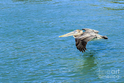 Photograph - Brown Pelican  Juvenile by Ben Graham
