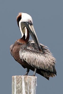 Photograph - Brown Pelican by Ken Barrett