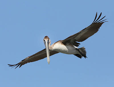 Photograph - Brown Pelican Looking At You by Jack Nevitt