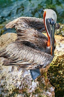Sebastian Florida Photograph - Brown Pelican Of Sebastian Inlet by Carol Montoya