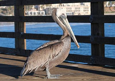 Photograph - Brown Pelican On Oceanside Pier  by Christy Pooschke