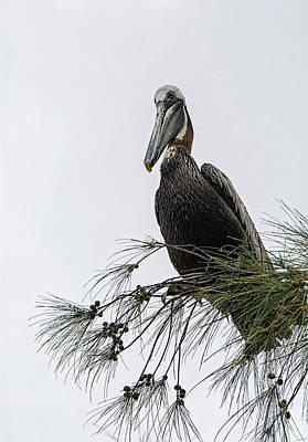 Photograph - Brown Pelican On Watch  by Saija Lehtonen