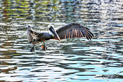 Photograph - Brown Pelican Over Colorful Water by Carol Groenen