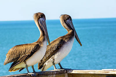 Photograph - Brown Pelican Pair by Randy Bayne