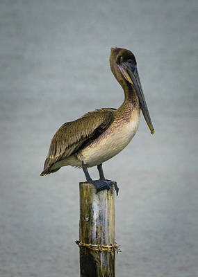 Photograph - Brown Pelican by Paula Ponath