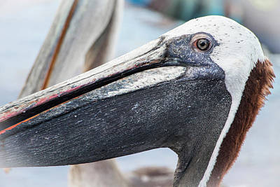 Photograph - Brown Pelican Portrait, Galapagos by Venetia Featherstone-Witty