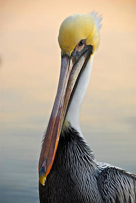 Brown Pelican Portrait Art Print by Georgia Nick