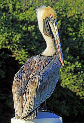 Photograph - Brown Pelican Posing By H H Photography Of Florida by HH Photography of Florida