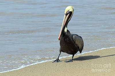 Photograph - Brown Pelican Posing by Teresa Zieba