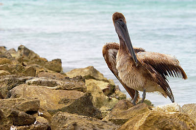 Photograph - Brown Pelican by Sebastian Musial