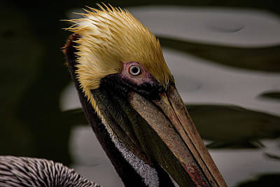 Photograph - Brown Pelican Series 2 Of 5 by Debra Martz